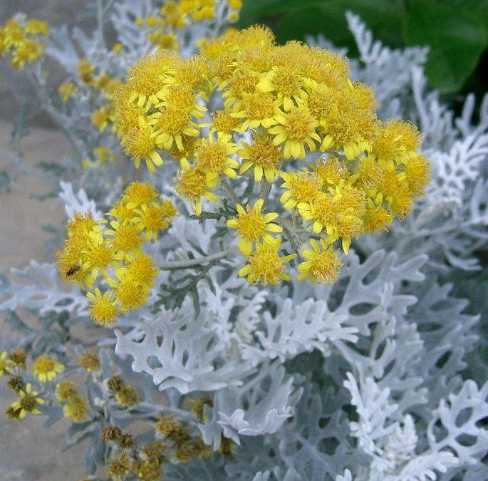 Territorio botánico: El senecio en el jardín vertical